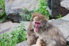 Van Macaque (Sneeuw) de Aap stock foto's