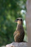 Van Meerkat (suricata) de schildwacht Stock Foto