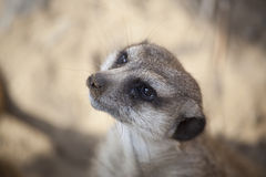 Van Meerkat (Suricate) de Close-up royalty-vrije stock afbeeldingen
