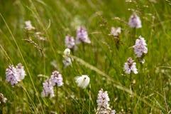 Van Myrull wilde katoenen en Dactylorhiza maculata wilde orchideeën Stock Foto