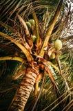 Van onderaan mening van kokosnoten op palm Royalty-vrije Stock Afbeelding