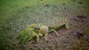 Van overzeese pusilla klippenupogebia - species van schaaldieren van superfamily kalianasov stock footage