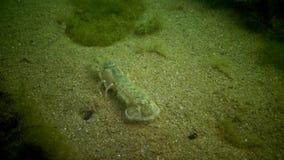 Van overzeese pusilla klippenupogebia - species van schaaldieren van superfamily kalianasov stock video