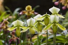 Van pantoffelorchidee of Paphiopdilum species Royalty-vrije Stock Foto's