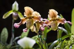 Van pantoffelorchidee of Paphiopdilum species Royalty-vrije Stock Afbeelding