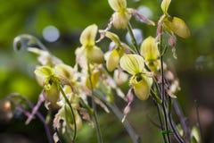 Van pantoffelorchidee of Paphiopdilum species Stock Afbeeldingen