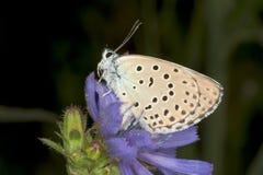 Van Phengaris (Maculinea) alcon de close-up/ Stock Foto's