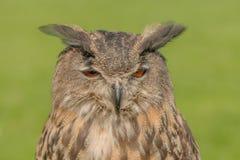 Van roofvogels - Europese bubo van Eagle Owl - Bubo stock afbeelding