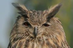 Van roofvogels - Europese bubo van Eagle Owl - Bubo royalty-vrije stock fotografie