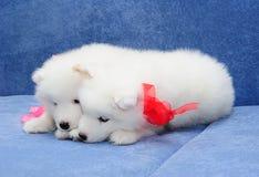 Van Samoyed (of van Bjelkier) de puppy Royalty-vrije Stock Afbeeldingen