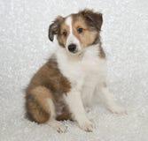 Van Sheltie (de Herdershond van Shetland) het Puppy royalty-vrije stock fotografie