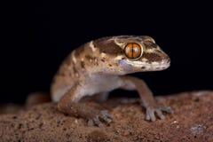 Van Son-` s stark-ausgewichenes Gecko Pachydactylus-vansoni lizenzfreies stockfoto