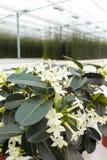 Van Stephanotisinstallatie of Madagascar jasmijn, gecultiveerd zoals decoratieve of sierbloem, populair element in huwelijksboeke royalty-vrije stock afbeelding
