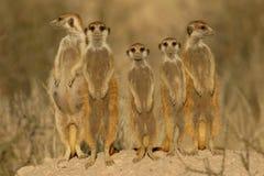Van Suricate (meerkat) de familie   Stock Afbeeldingen