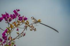 Van Sweewaxbill (mannetje) de wilde vogel Stock Foto
