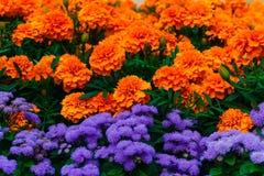 Van Tagetespatula en ageratum bloemen stock afbeeldingen