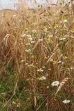 Van tarweoren en margrieten gloed in de heldere de zomerzonneschijn stock foto's