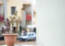 Van Tulsi (basilicum) de installatie met exemplaarruimte Stock Foto