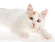 Van turco de creme gato no fundo branco fotografia de stock