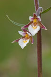 Van van moerashelleborine/sumpf-Stendelwurz/Epipactis palustris Stock Foto