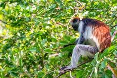 Van Zanzibar rode colobus of van Procolobus kirkii Stock Foto's