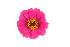 Van Zinnia (violacea van Zinnia) de bloesem Stock Fotografie
