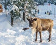 Vancôver norte Canadá - 30 de dezembro de 2017: Rena em uma paisagem do inverno na montanha do galo silvestre imagem de stock royalty free