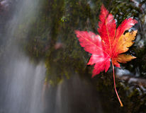 Vanchin river. Autumn. Red leaf 2. Royalty Free Stock Photography