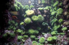 Green Coral reefs in Vancouver Aquarium stock photos