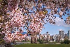 Vancouver Cherry Blossoms Stockfotografie