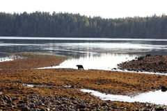 Vancouver Island environment. Silhouette of a bear in a late autumn afternoon on Vancouver Island in the Pacific Ocean in British Columbia province of Western stock images