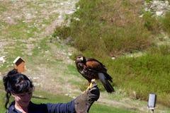 VANCOUVER KANADA - JUNI 12, 2010: En förlagehanterare med en utbildade Peregrine Falcon på skogshönsberget Arkivbild