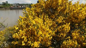 Vancouver Scotch Broom dolly shot. A dolly shot of flowering Scotch Broom on the shore of the Fraser River. British Columbia, Canada stock footage