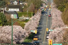 Vancouver Spring Cherry Blossoms Stock Images