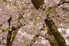 Vancouver Spring Cherry Blossoms.Canada Stock Photos
