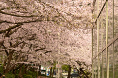 Vancouver Spring Cherry Blossoms.Canada Royalty Free Stock Photo