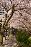 Vancouver Spring Cherry Blossoms.Canada Stock Images