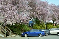 Vancouver vår Cherry Blossoms Kanada Arkivfoton