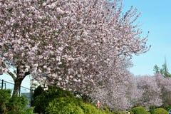 Vancouver vår Cherry Blossoms Kanada Arkivfoto