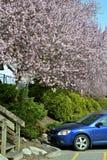 Vancouver vår Cherry Blossoms Kanada Arkivbild