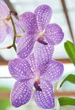 Vanda Stock Photos