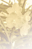 Орхидея Vanda Стоковое Изображение