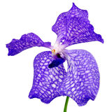 Vanda - blue orchind flower Stock Image