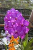 Vanda bright purple Royalty Free Stock Image