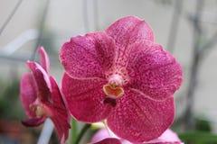 Vanda Clara Orchid Fotos de archivo