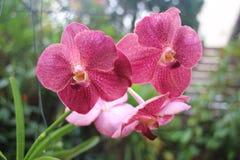 Vanda Clara Orchid Foto de archivo