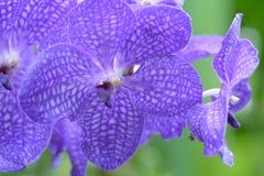 Vanda Coerulea Griff Royalty-vrije Stock Foto's