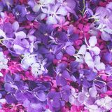 Vanda coerulea and mokara orchid Royalty Free Stock Photography