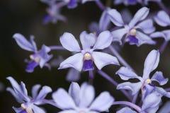 Vanda Coerulescens, orchidea di specie. Fotografia Stock