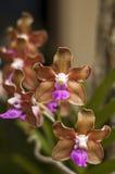 Vanda Denisoniana. A closeup of a vanda denisoniana orchid Royalty Free Stock Photo